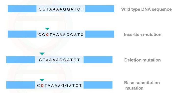 Contoh mutasi titik: penambahan / penghapusan dan mutasi titik substitusi dasar.