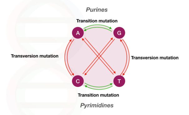 Transisi vs transversi