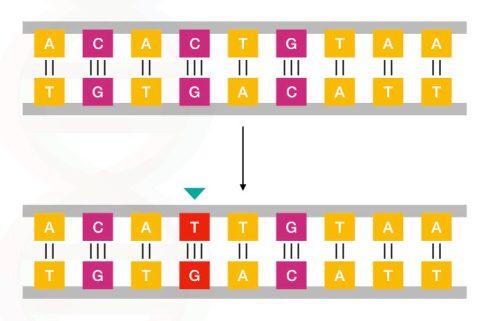 Contoh sederhana dari mutasi titik.